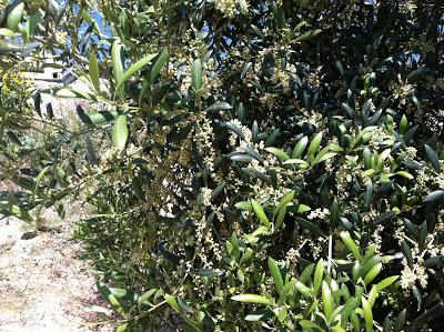 Nuestro olivos en floración
